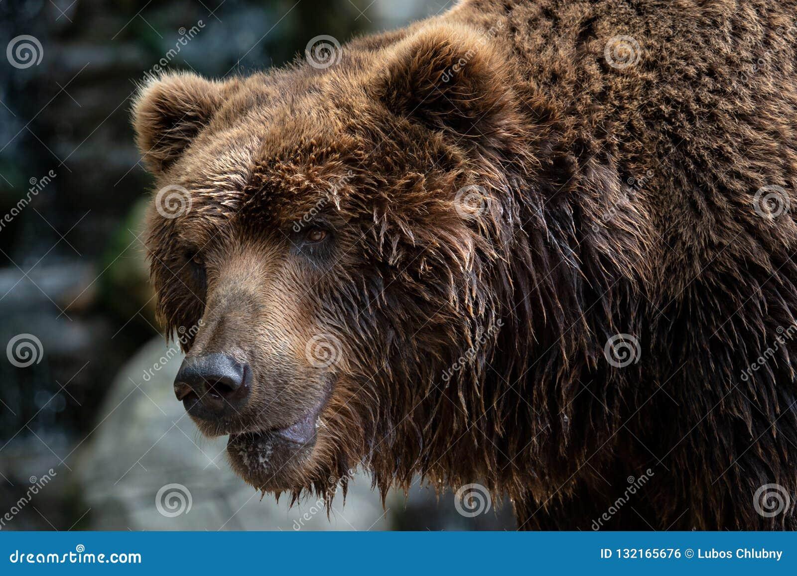 Вид спереди бурого медведя Портрет медведя Камчатка