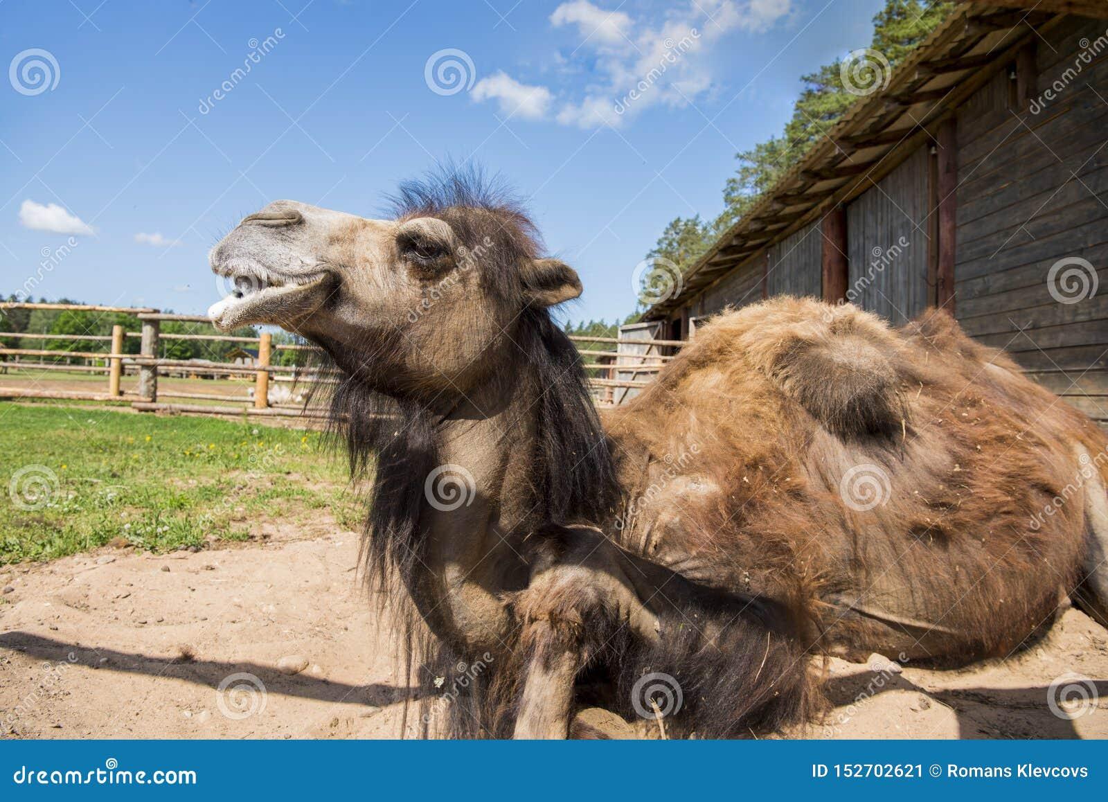 Вид спереди 2 humped земли верблюда сидя