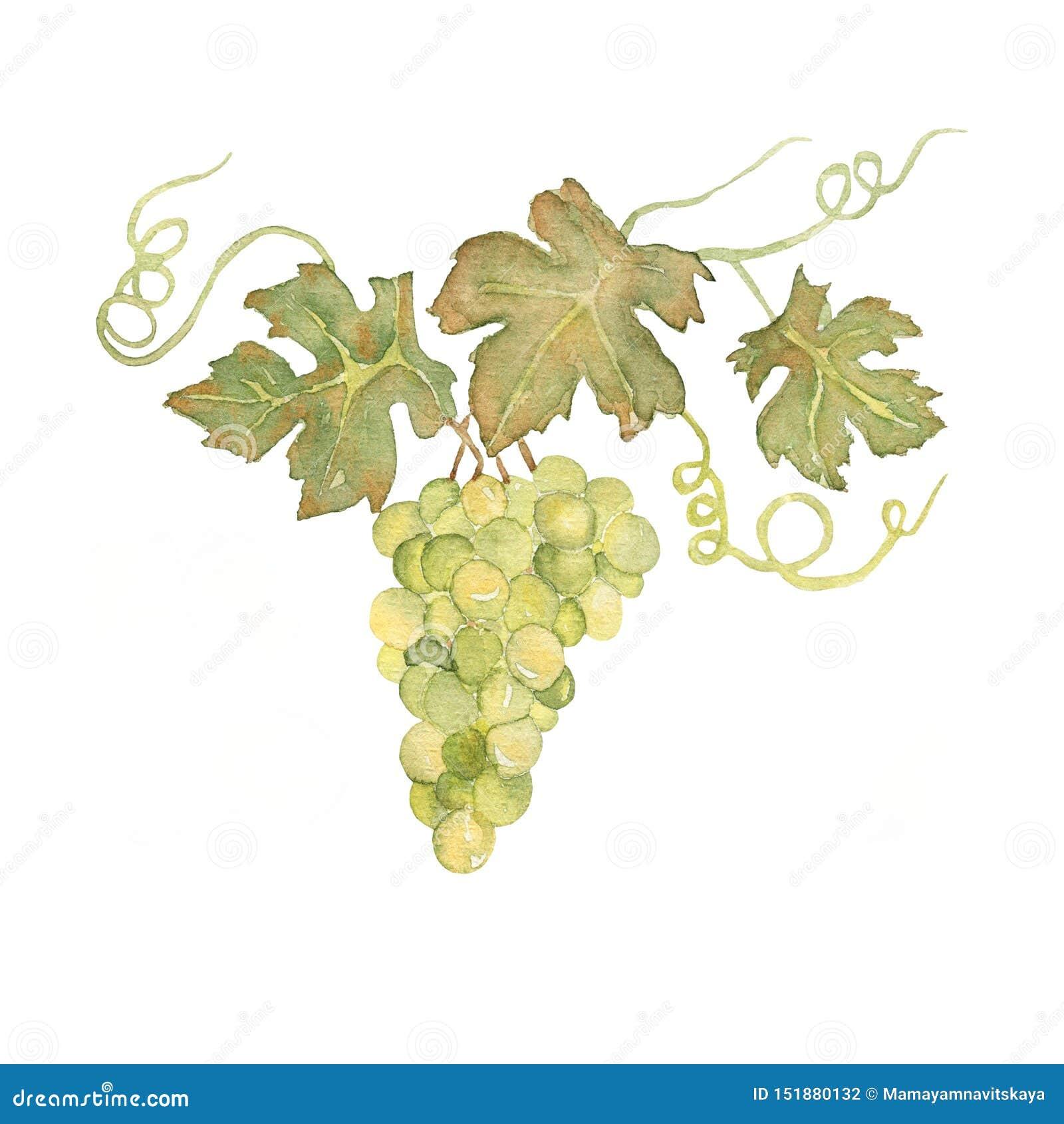 Виноградины акварели руки вычерченные с листьями на пуке Зеленая сладкая иллюстрация ягоды виноградин