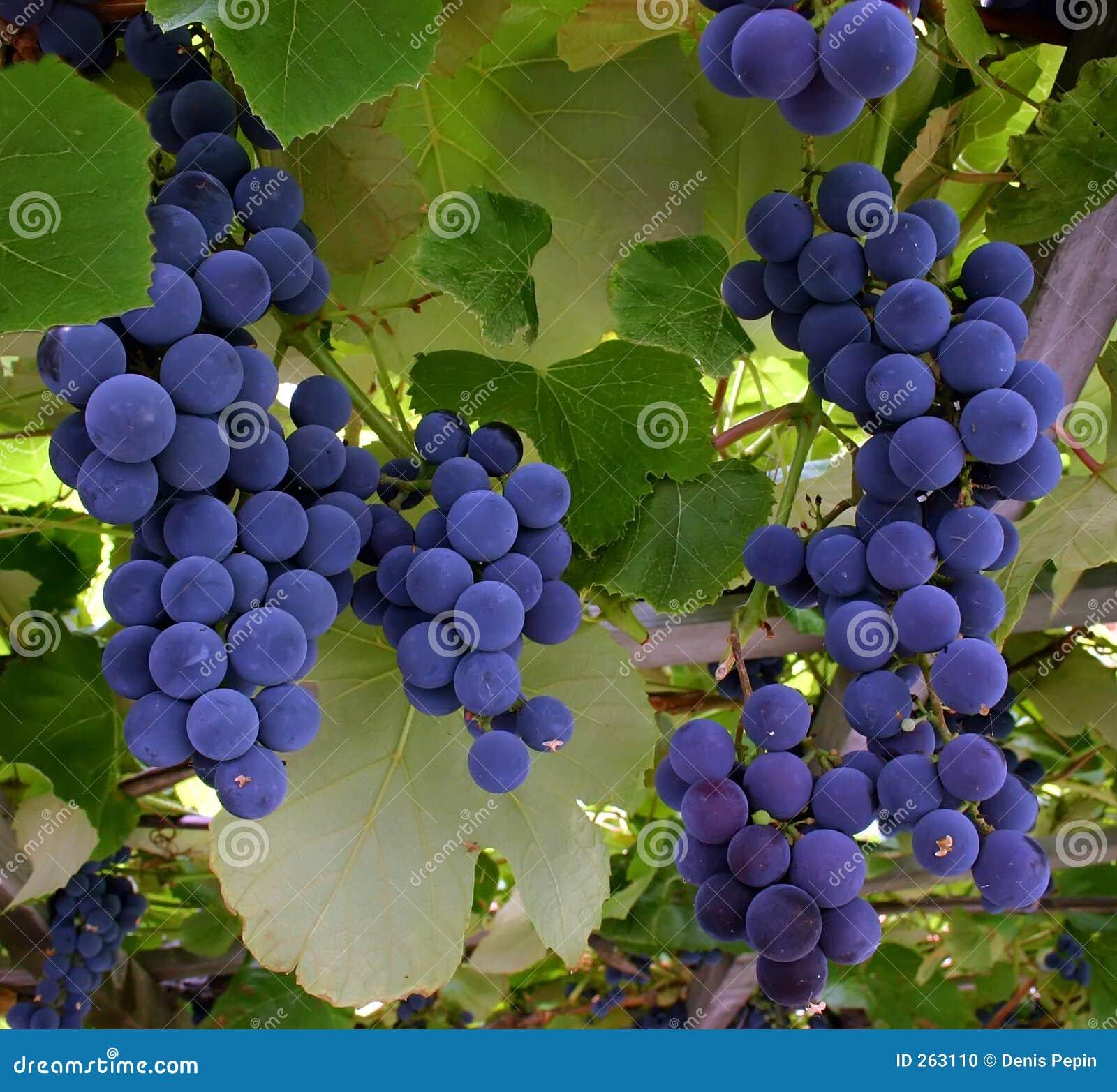 виноградины вися лозу