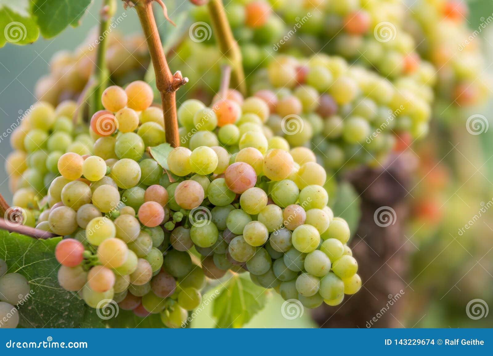 Виноградины в немецком выращивающем вин регионе