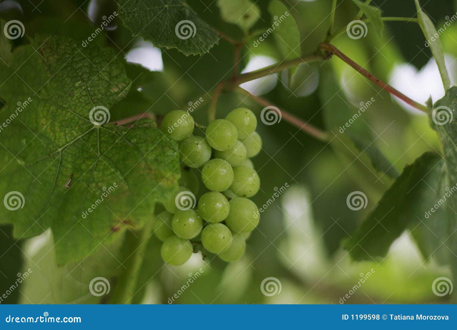 виноградины группы
