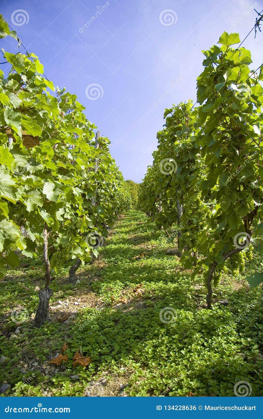Виноградины на виноградном вине с деревянной предпосылкой