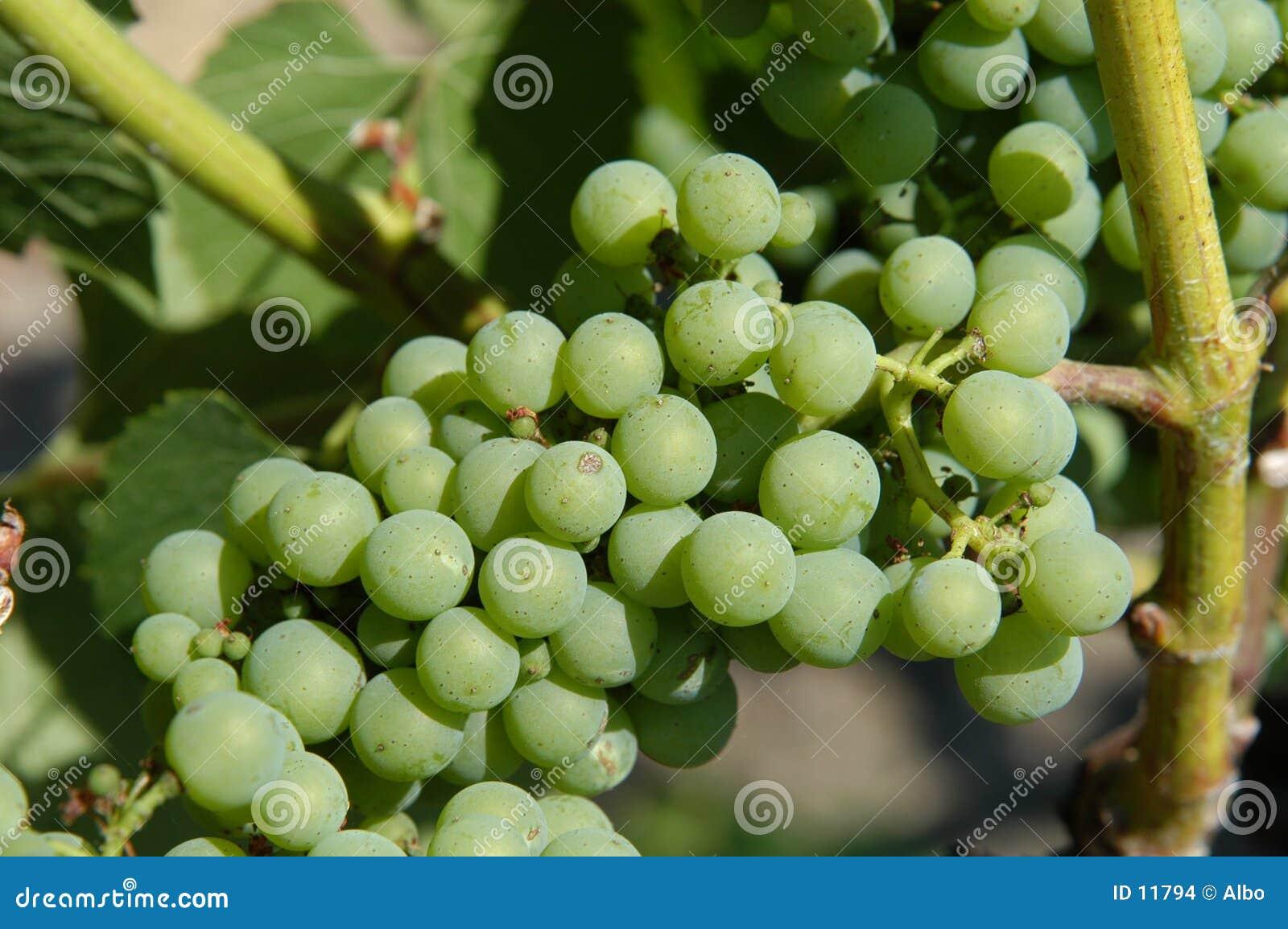 виноградины пука