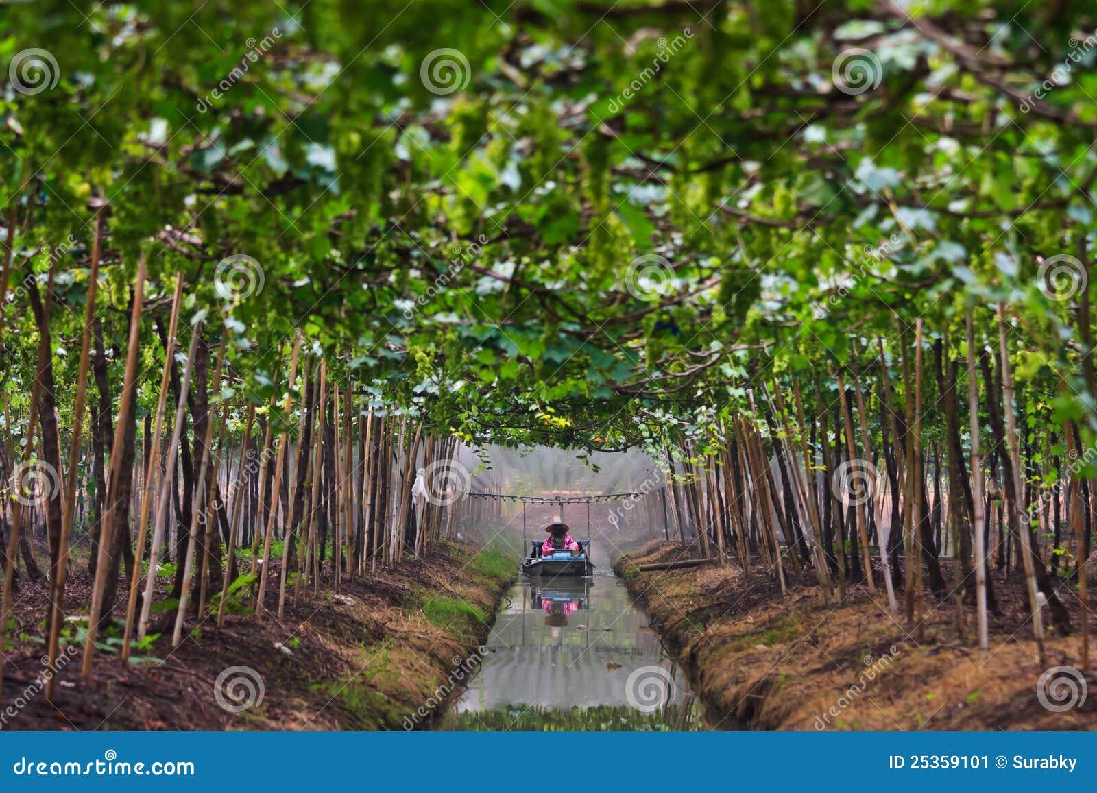 Виноградины Agriculturist в саде