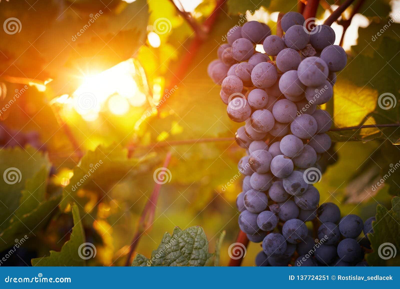 Виноградники на заходе солнца в сборе осени