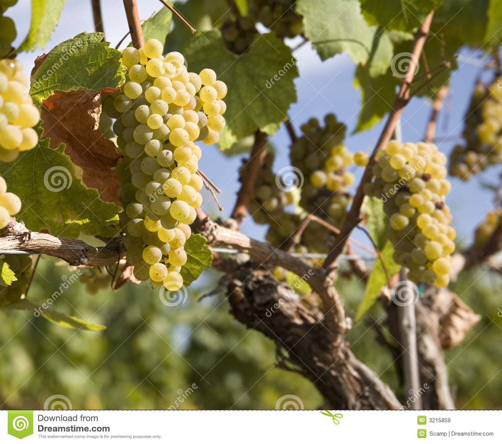 виноградник виноградин chardonnay