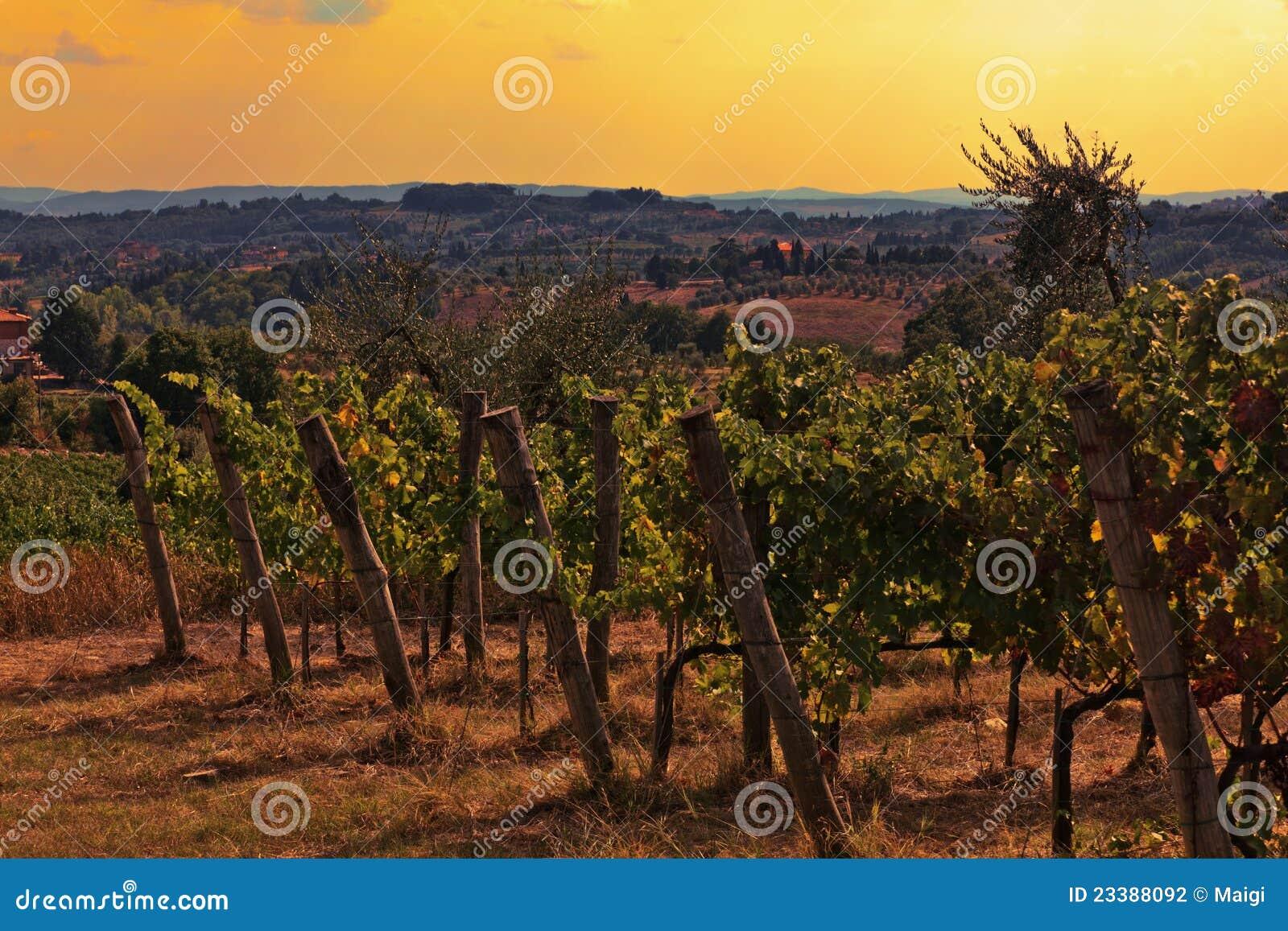 виноградник Тосканы