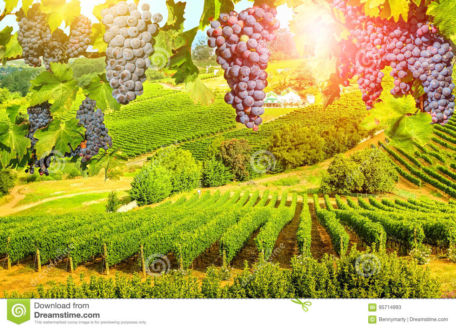 Виноградины вися в винограднике