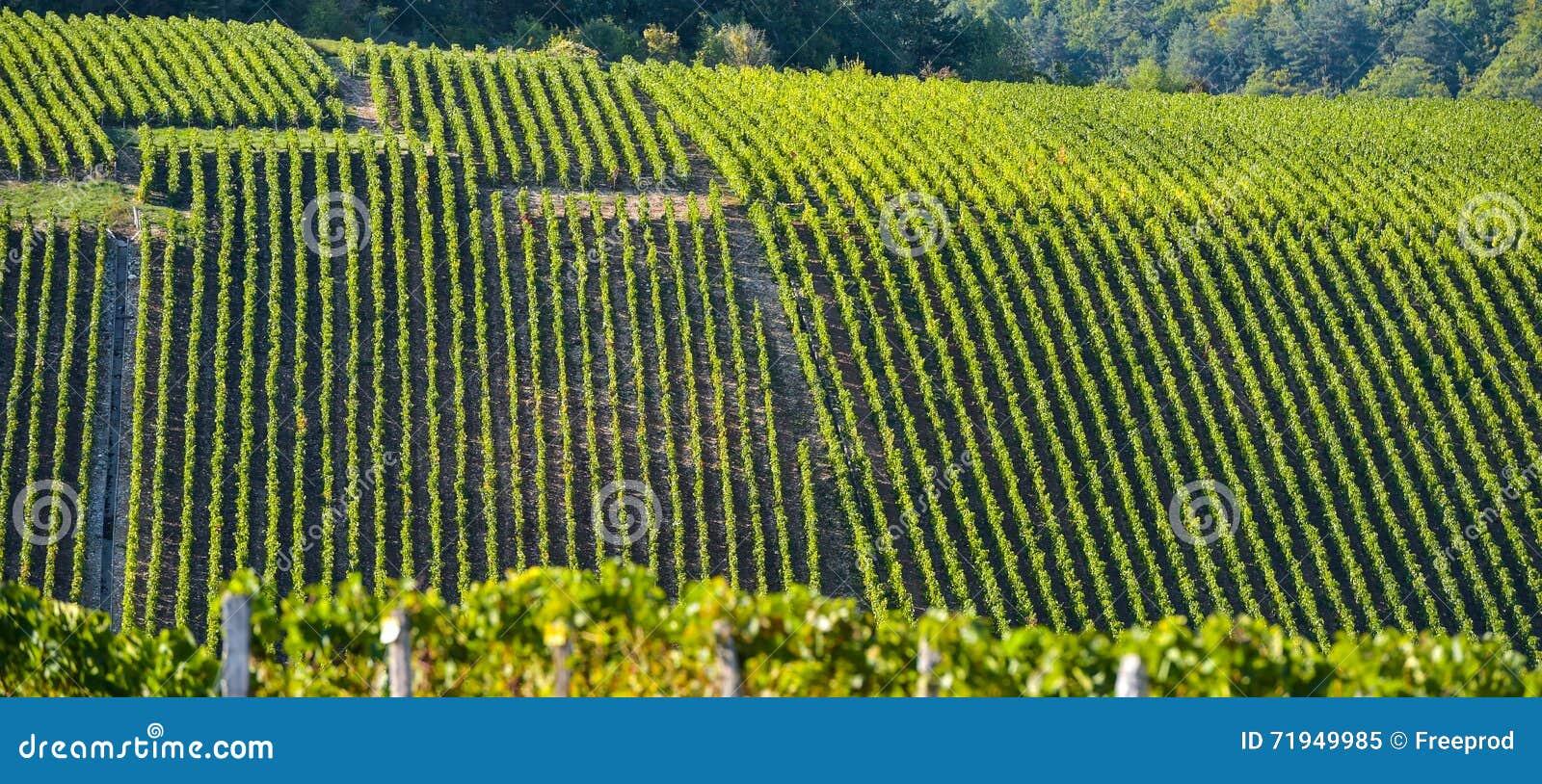 Виноградники в баре des Коута, об Шампани