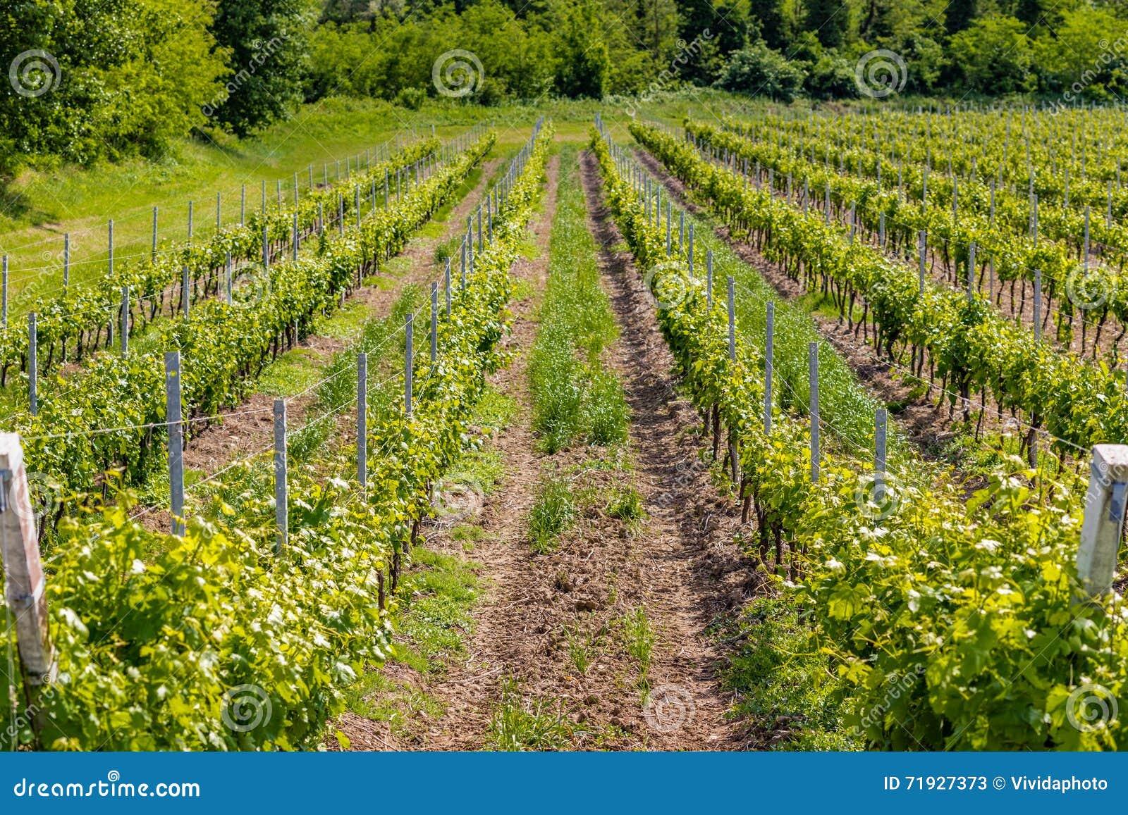 виноградники Германии зеленые