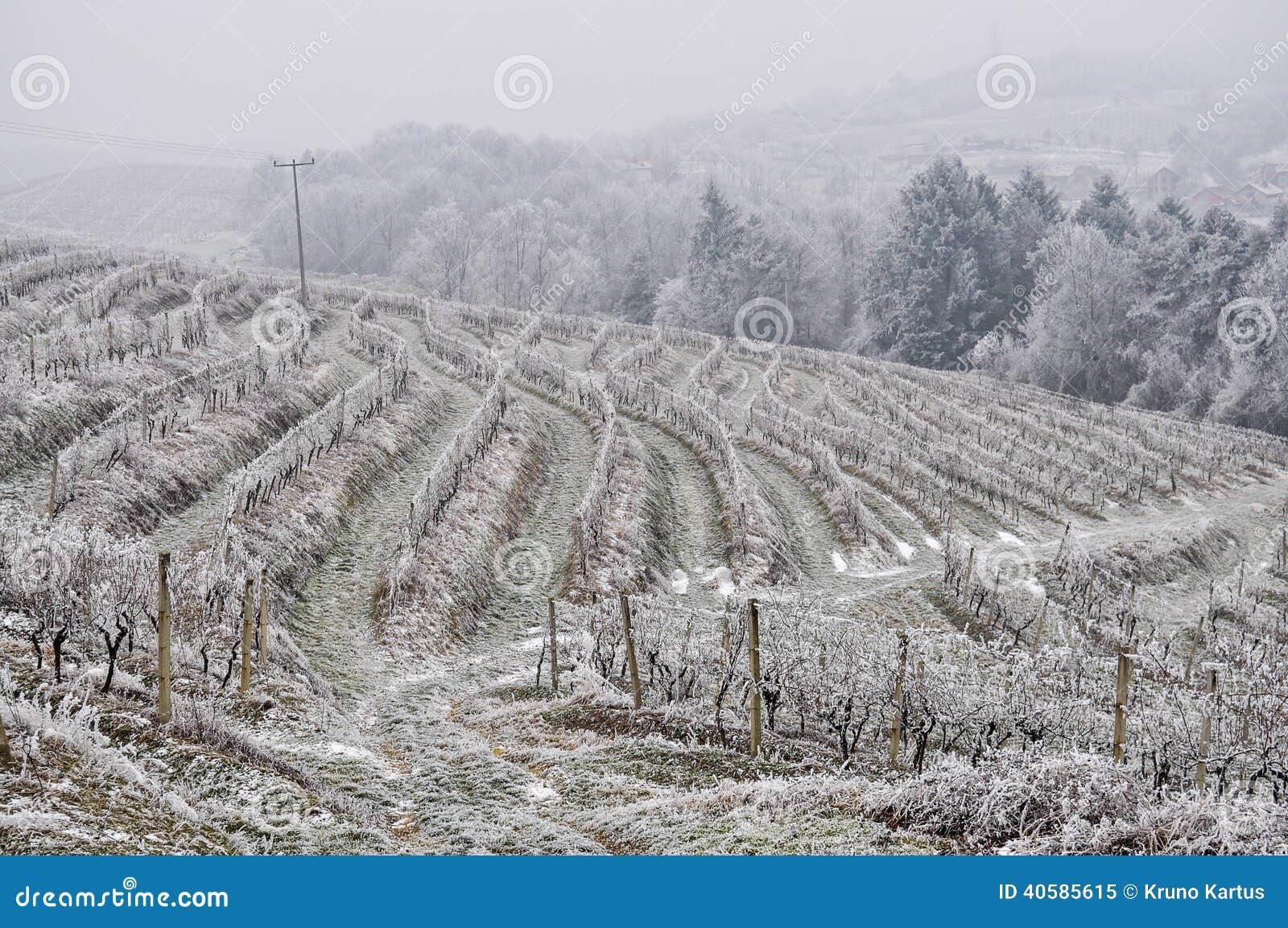 Виноградник в зиме