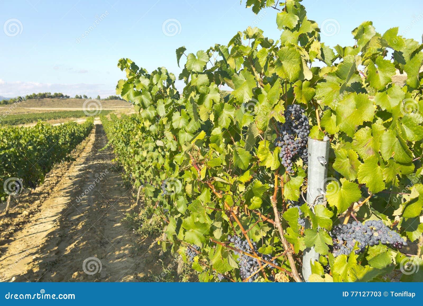 виноградник природы ландшафта состава