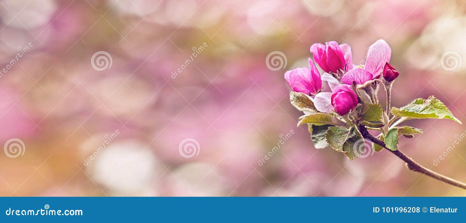 Винтажное фото розовой яблони цветет весной Отмелый dept