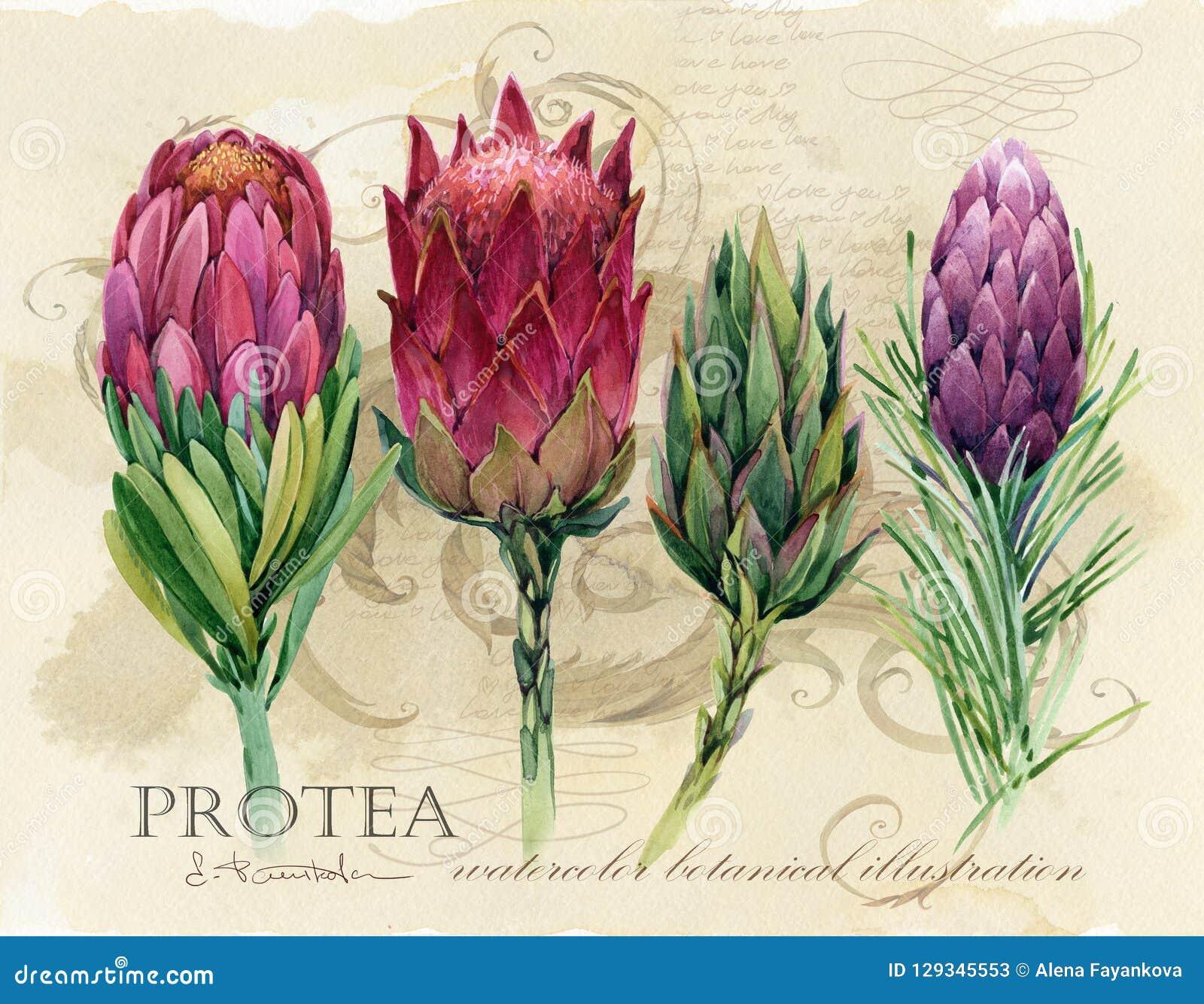 Винтажный ботанический плакат печать искусства вычерченной акварели руки флористическая с цветками protea