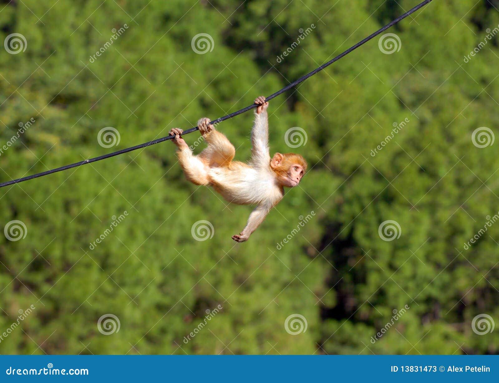 вися обезьяна