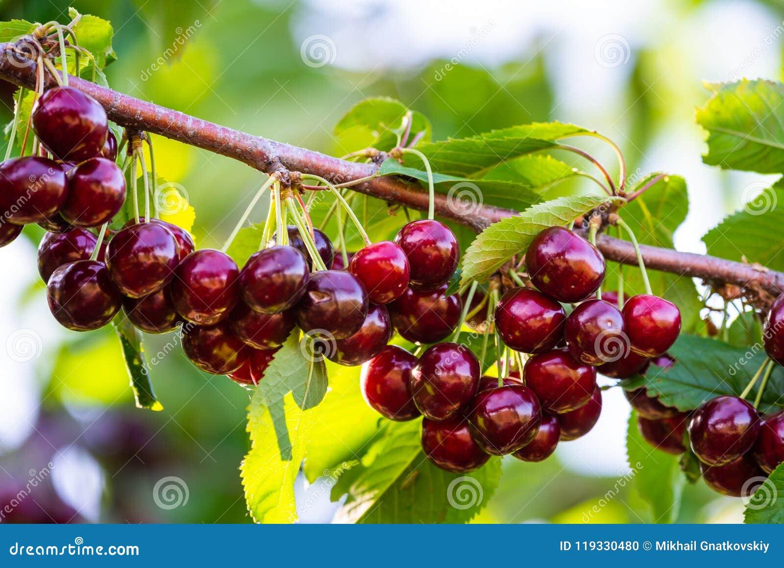 Вишни на ветви фруктового дерев дерева в солнечном саде Пук свежей вишни на ветви в сезоне лета