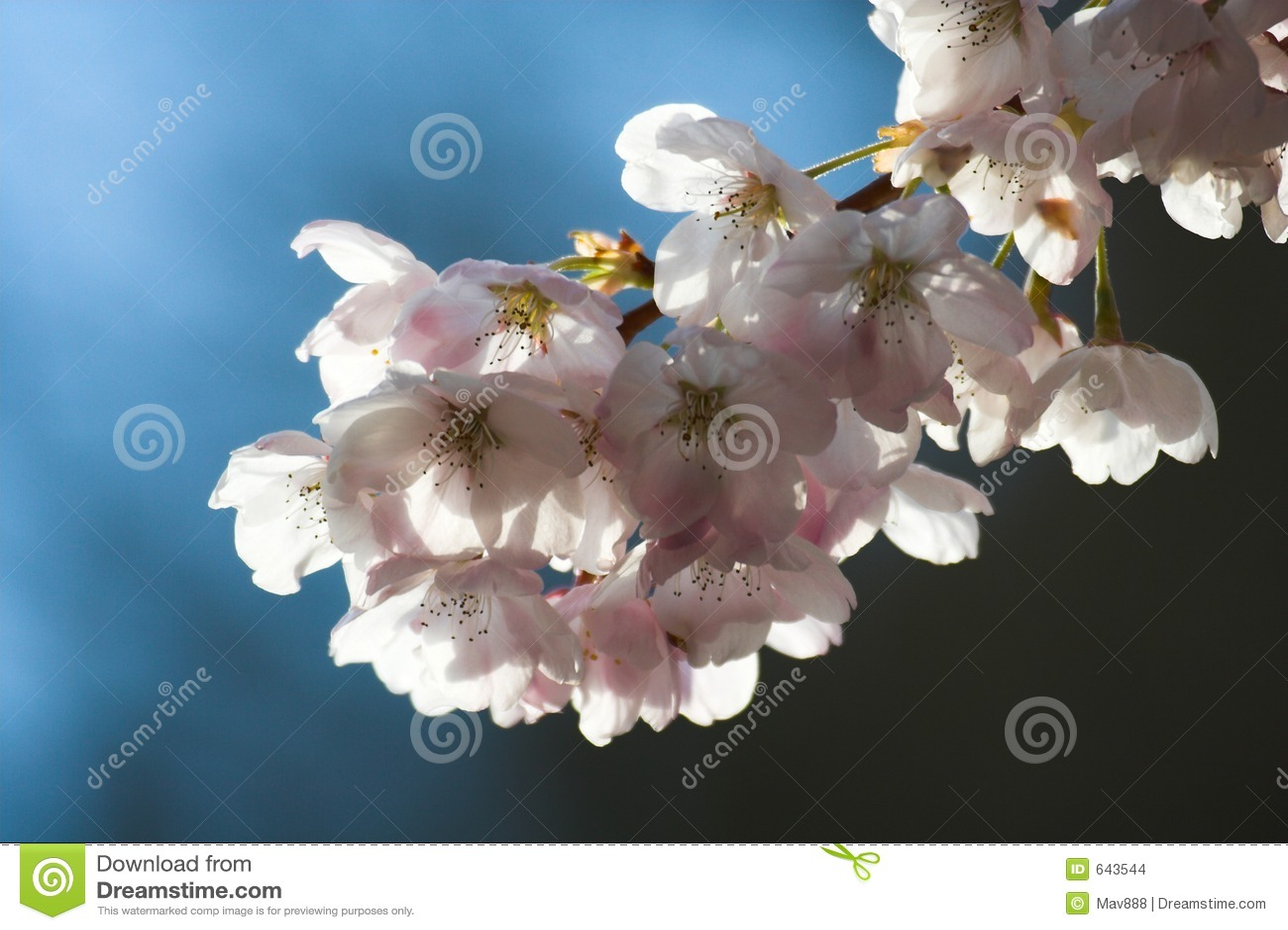 Download вишня цветения стоковое фото. изображение насчитывающей вал - 643544