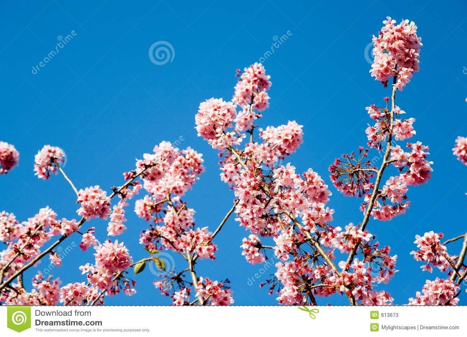 вишня цветет весна