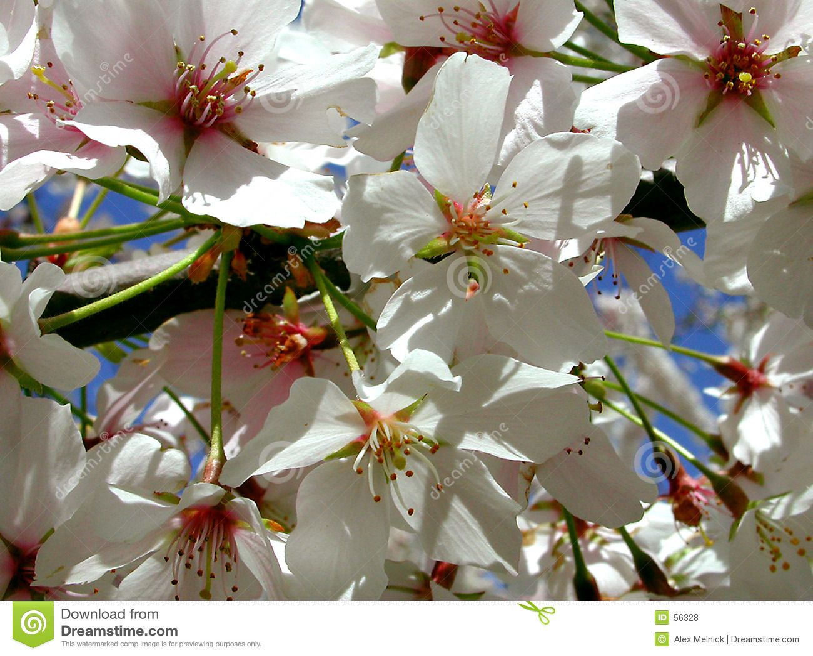 вишня blossums