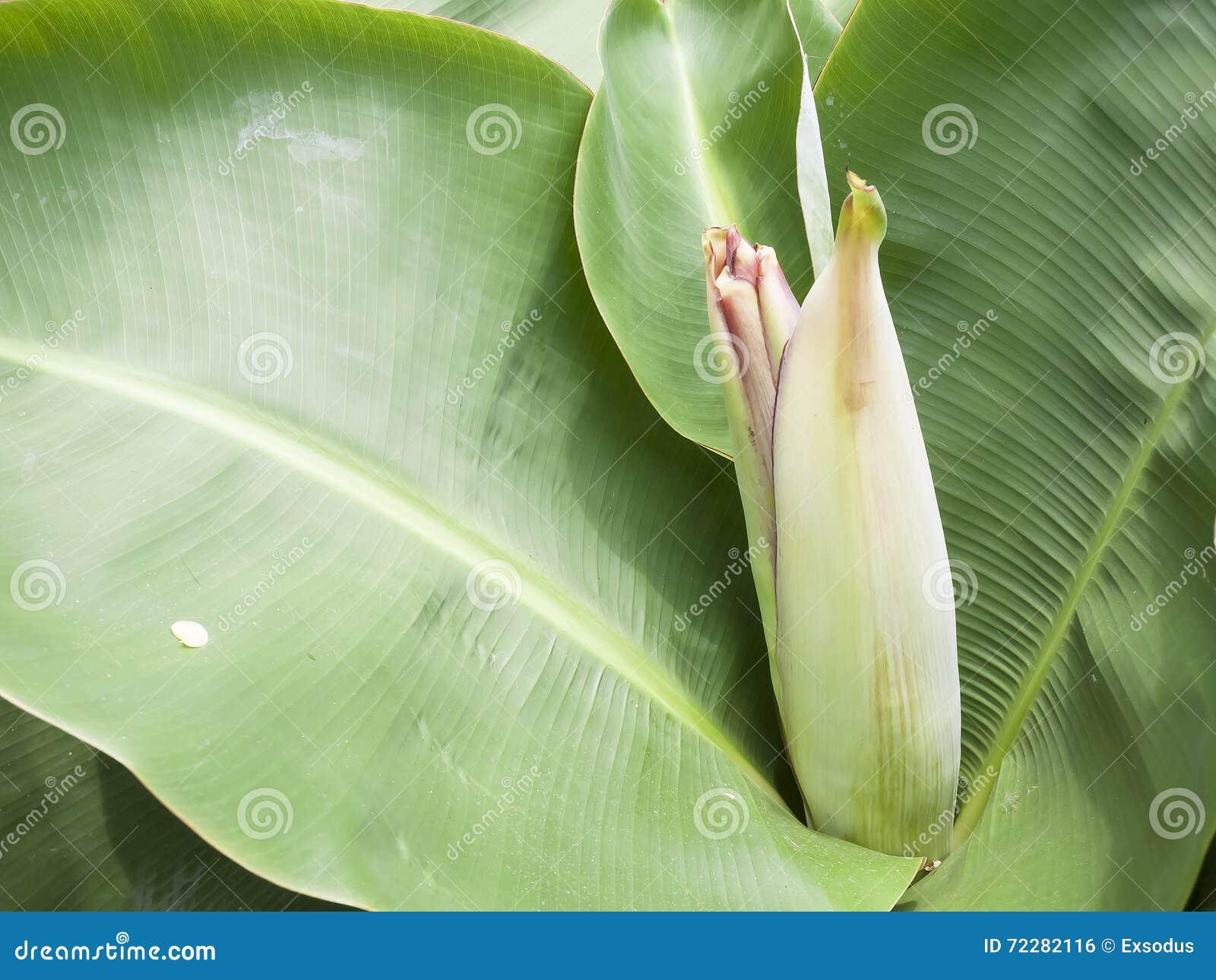Download Вид карлика банана стоковое фото. изображение насчитывающей флора - 72282116