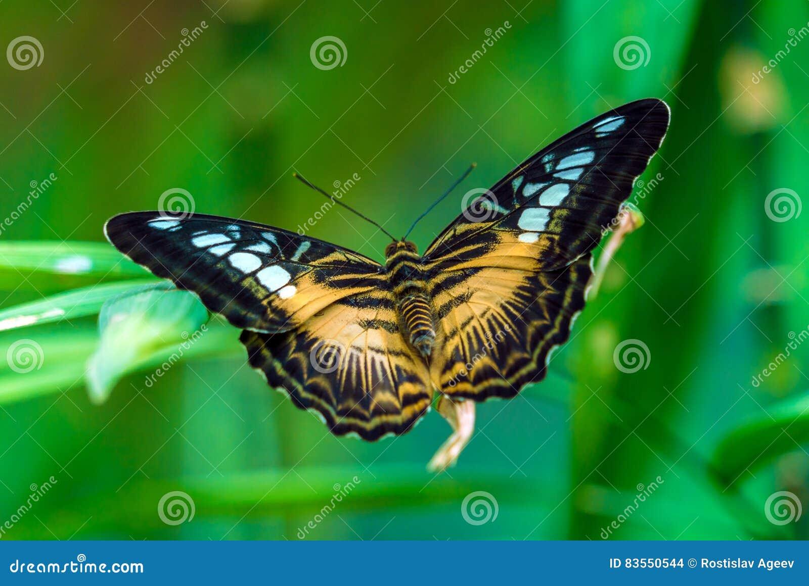 Вид клипера бабочки nymphalid Parthenos sylvia