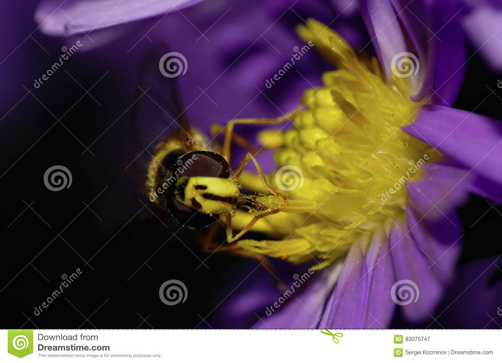Вид спереди макроса кавказского цветка летает hoverfly на alpin