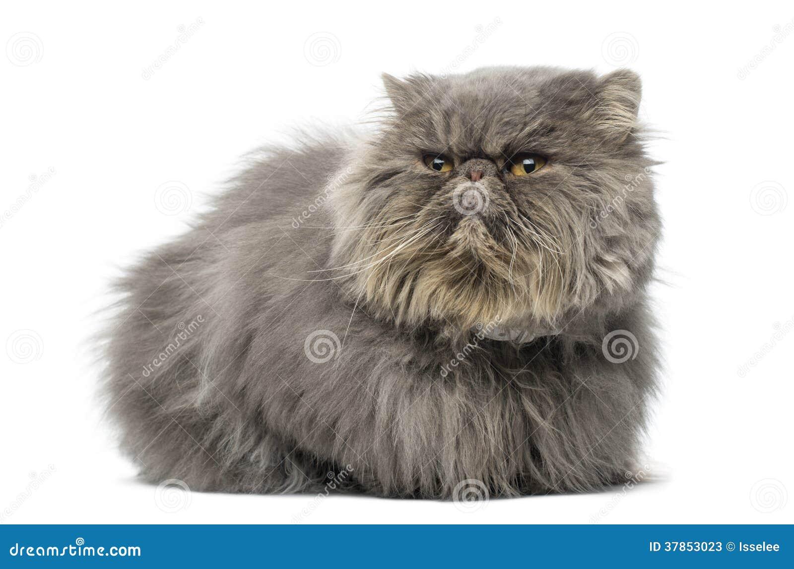 Вид спереди сварливого персидского кота, лежать, смотря прочь