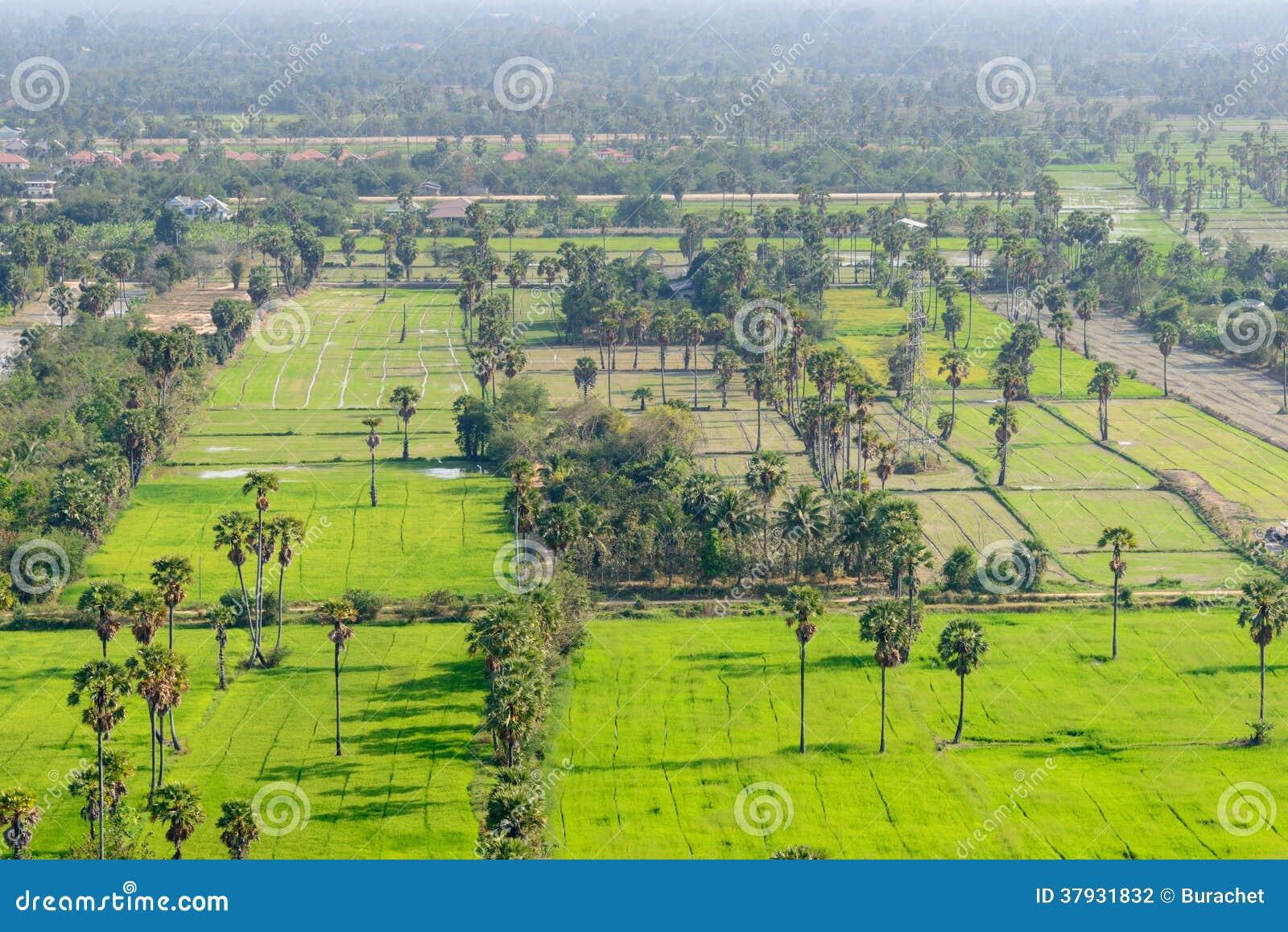 Вид с воздуха пальм сахара