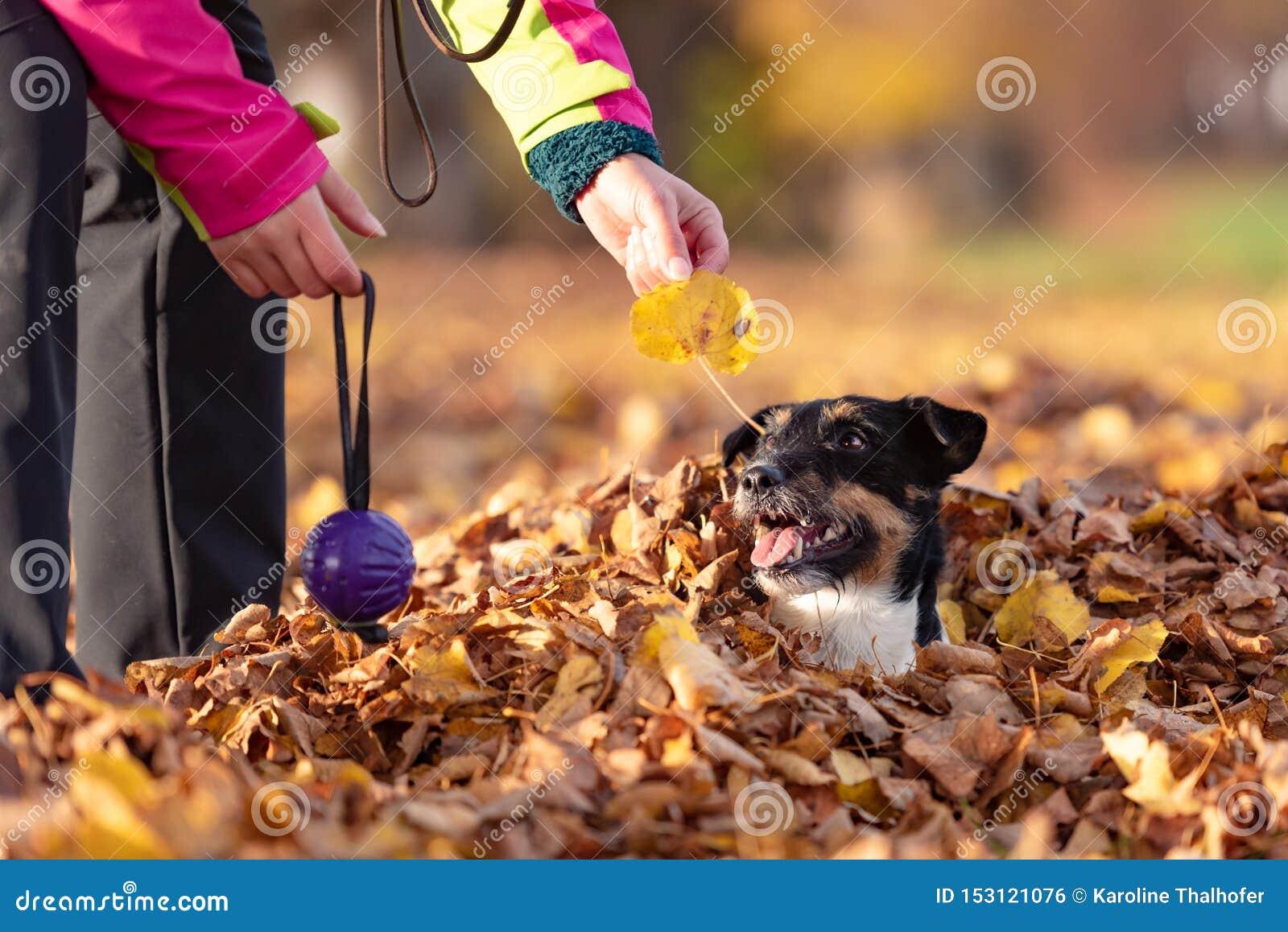 Владелец собаки играет с его терьером Джек Рассела в куче листвы в осени Они имеют много потеху совместно