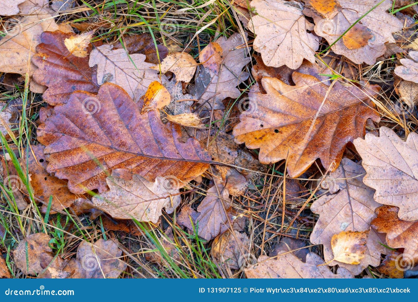 Влажные листья дуба лежа на пути леса Листья deci