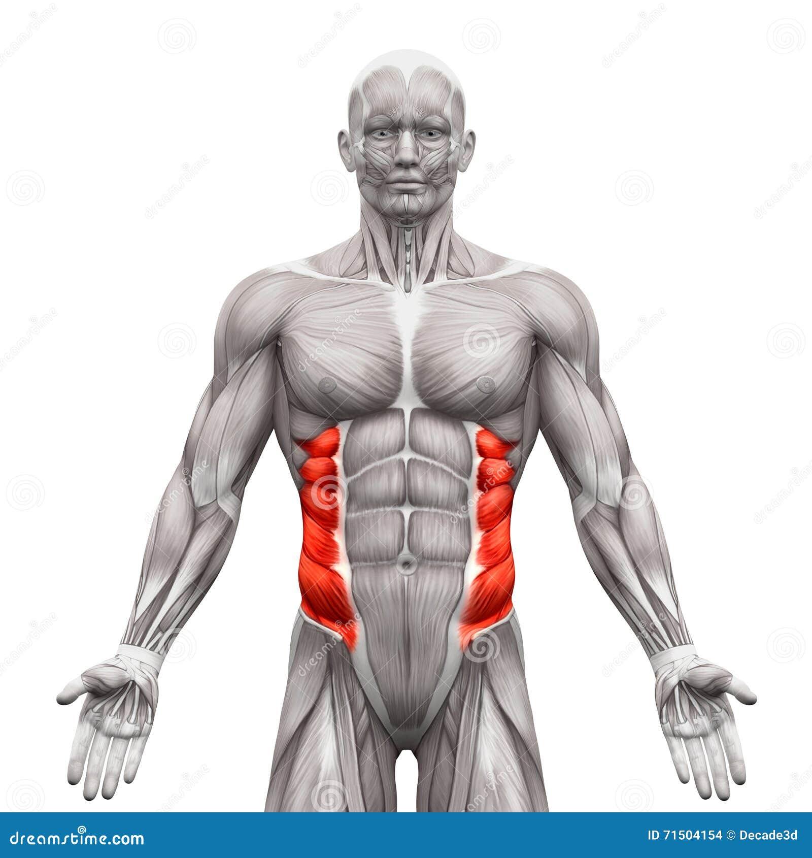 Внешние вкосую мышцы - мышцы анатомии изолированные на бело- 3