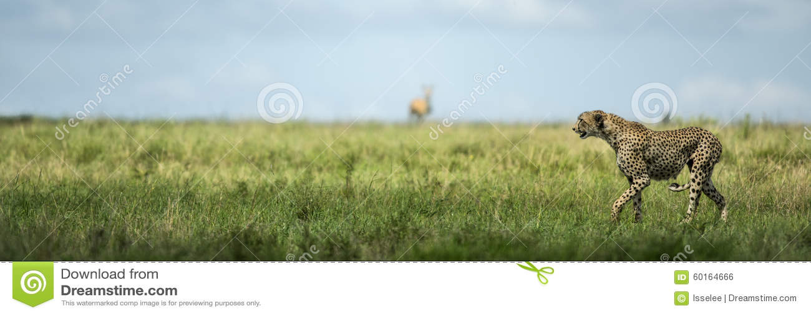 Внимательный гепард, Serengeti, Танзания
