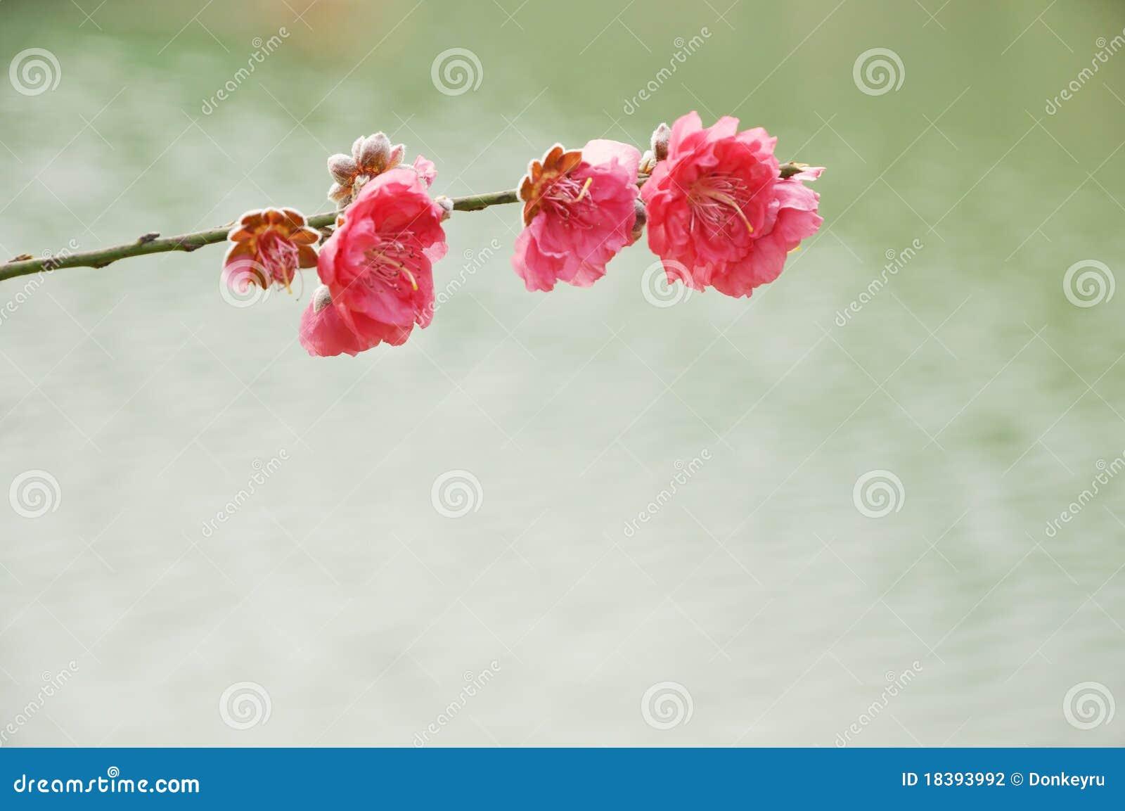 вода весны персика цветка предпосылки