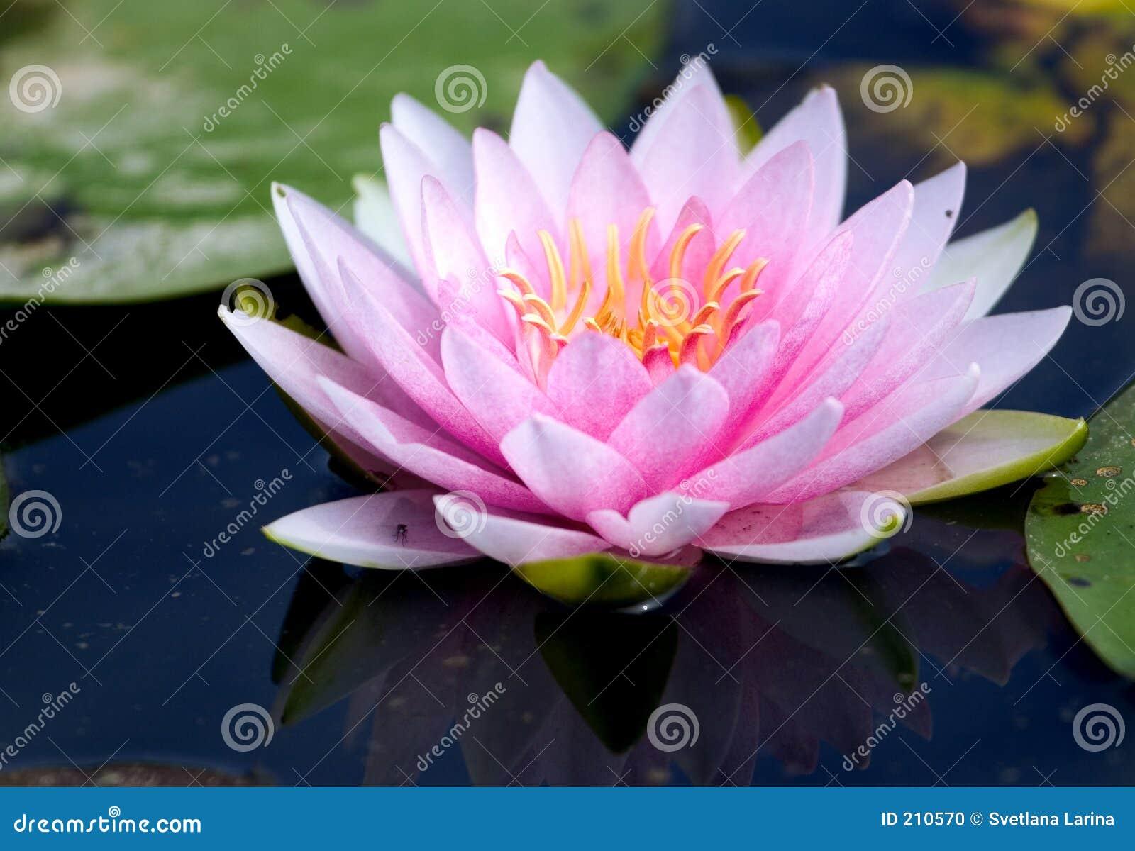 вода лилии розовая