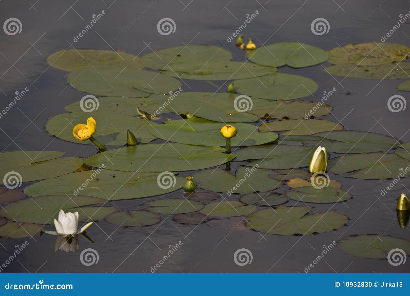 вода лилий