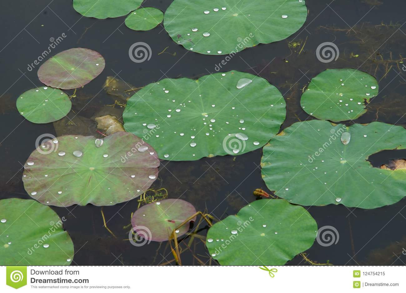 Вода орошает на листьях лотоса