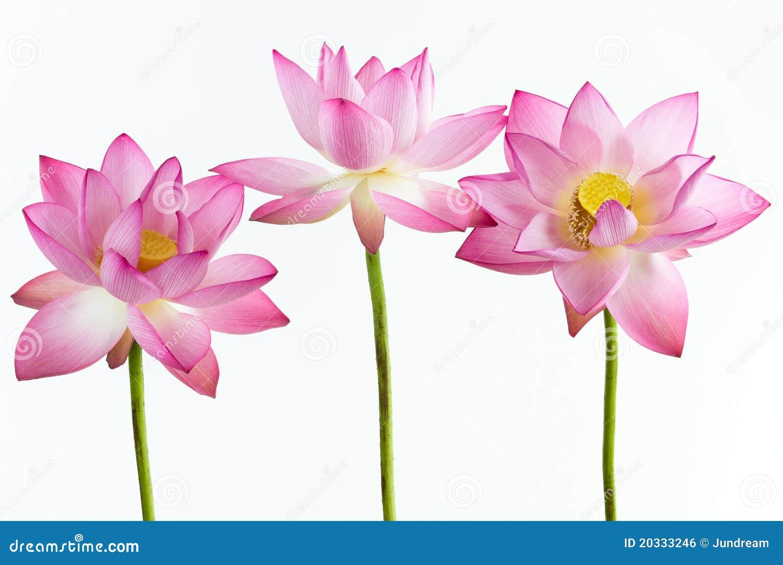 вода пинка 3 лотоса лилии цветка