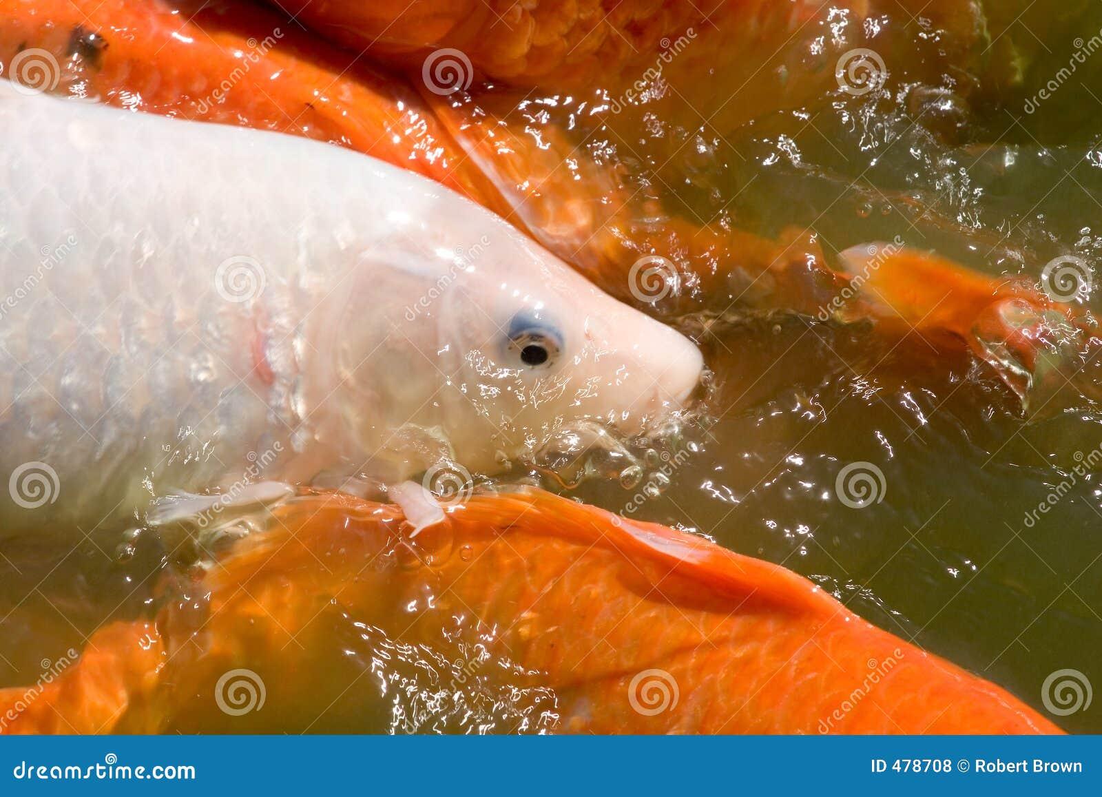 вода koi рыб