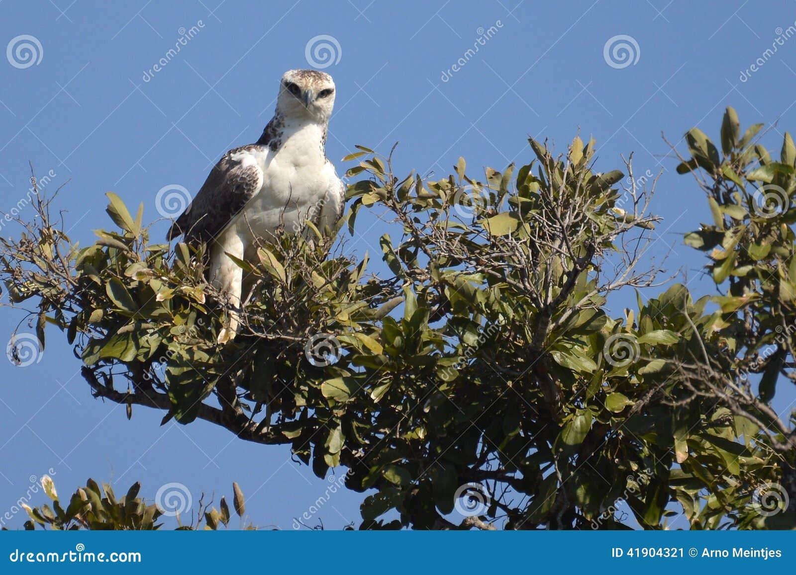 Военный орел (bellicosus) Polemaetus (юноша)