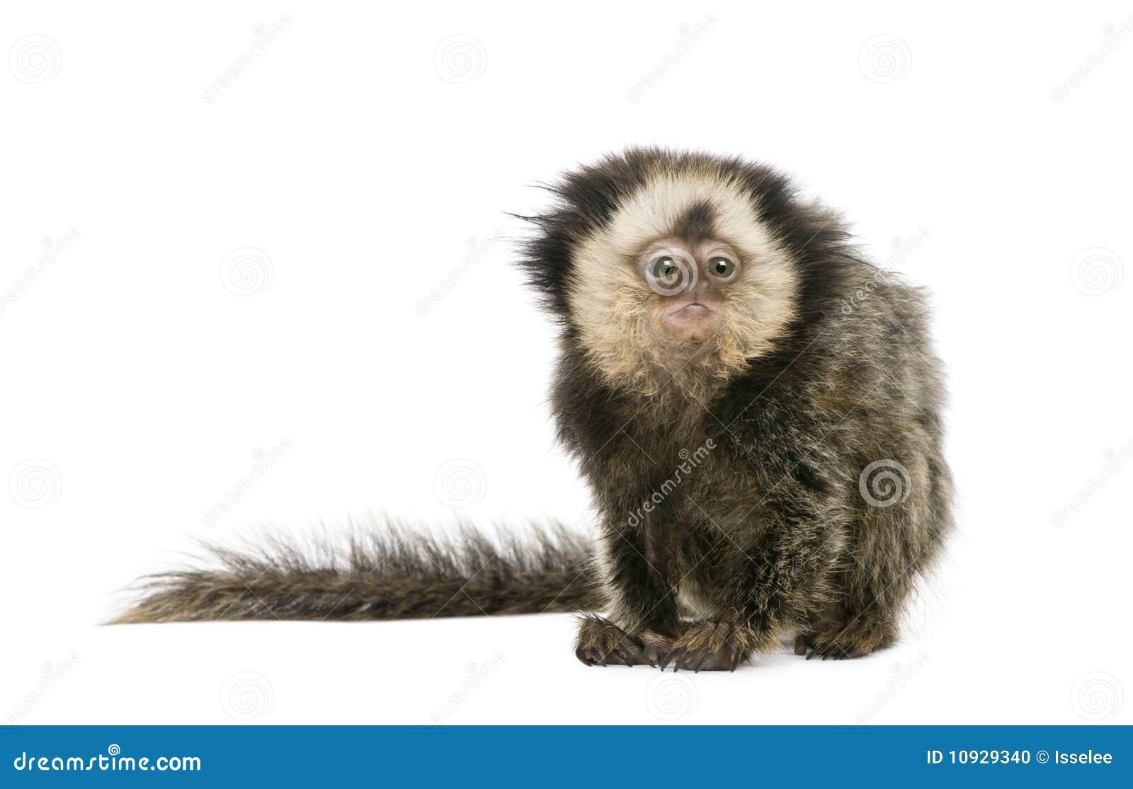 возглавленные детеныши marmoset белые