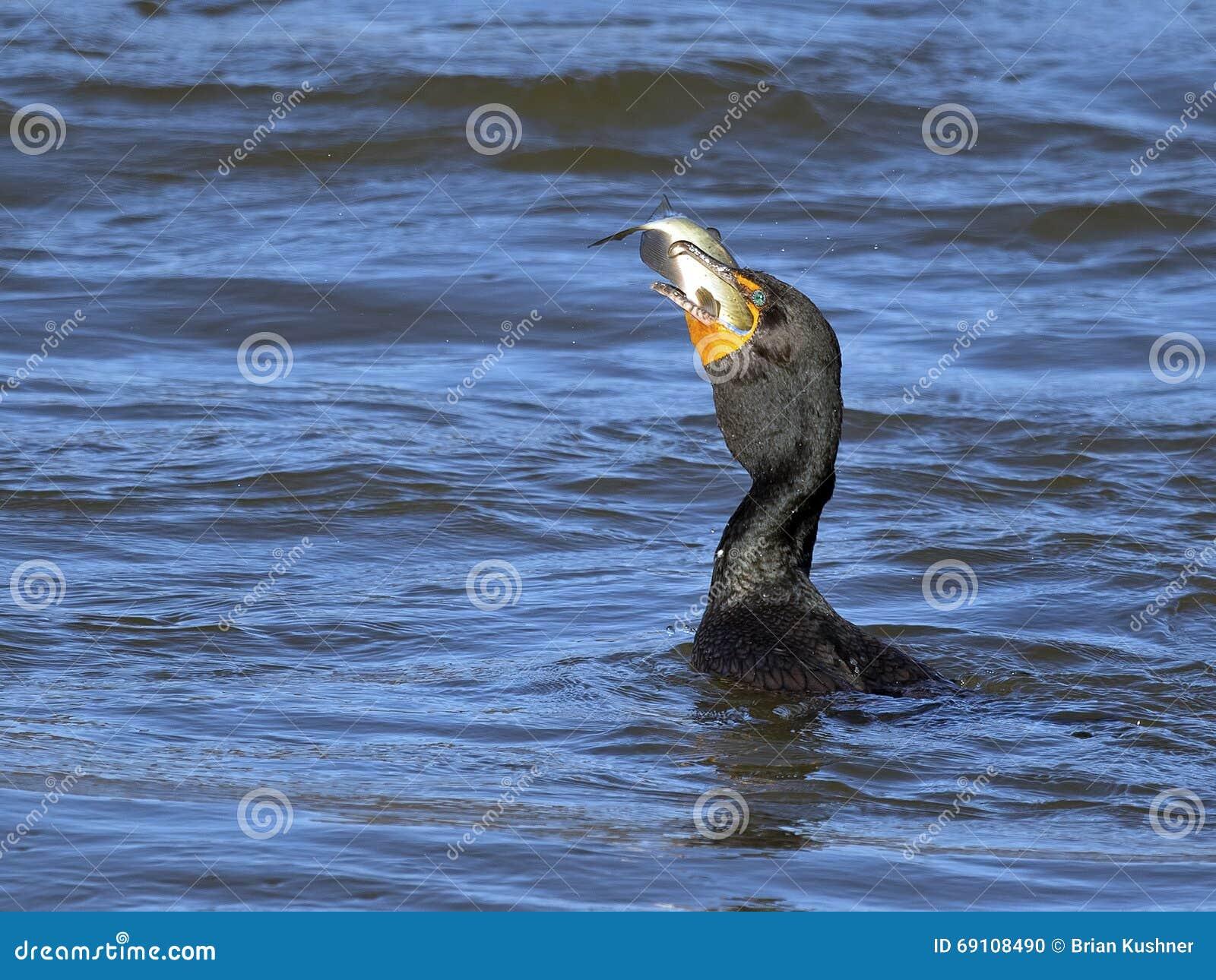 двойник crested cormorant