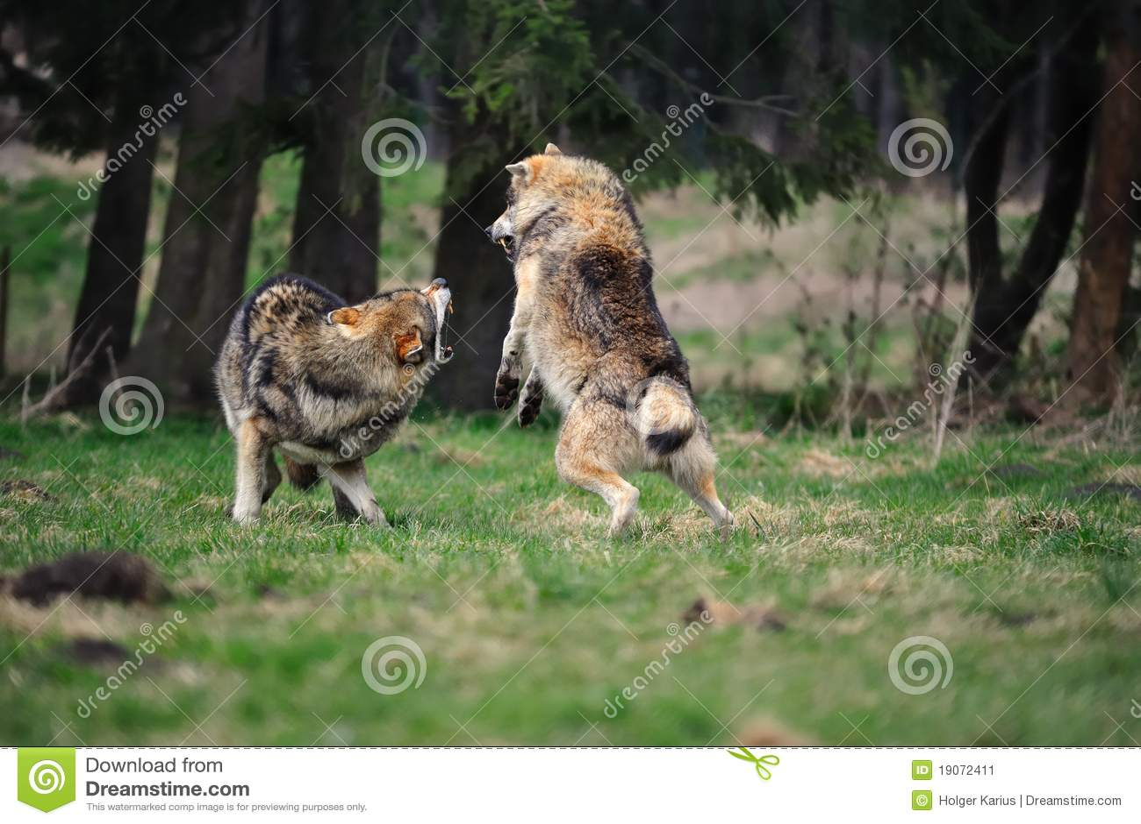 волк волчанки canis серый