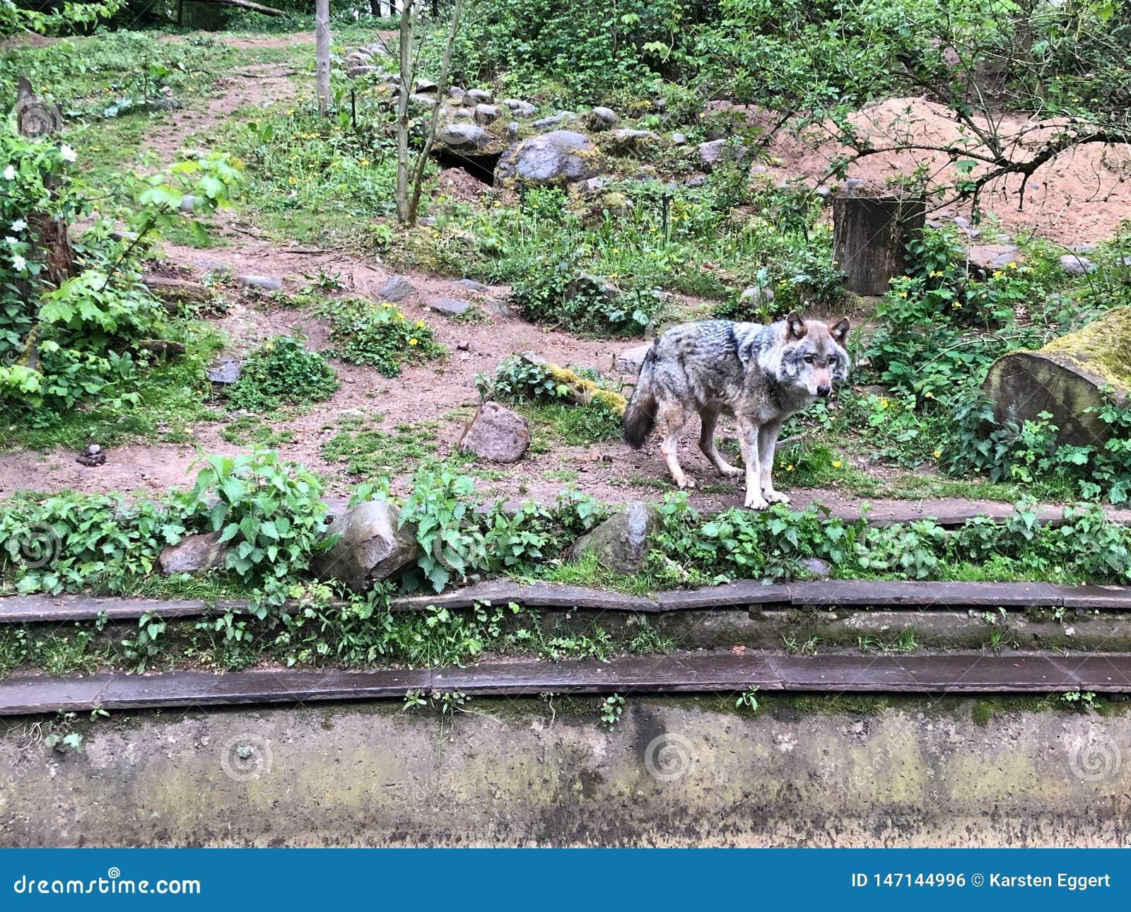 Волк стоит в приложении зоопарка