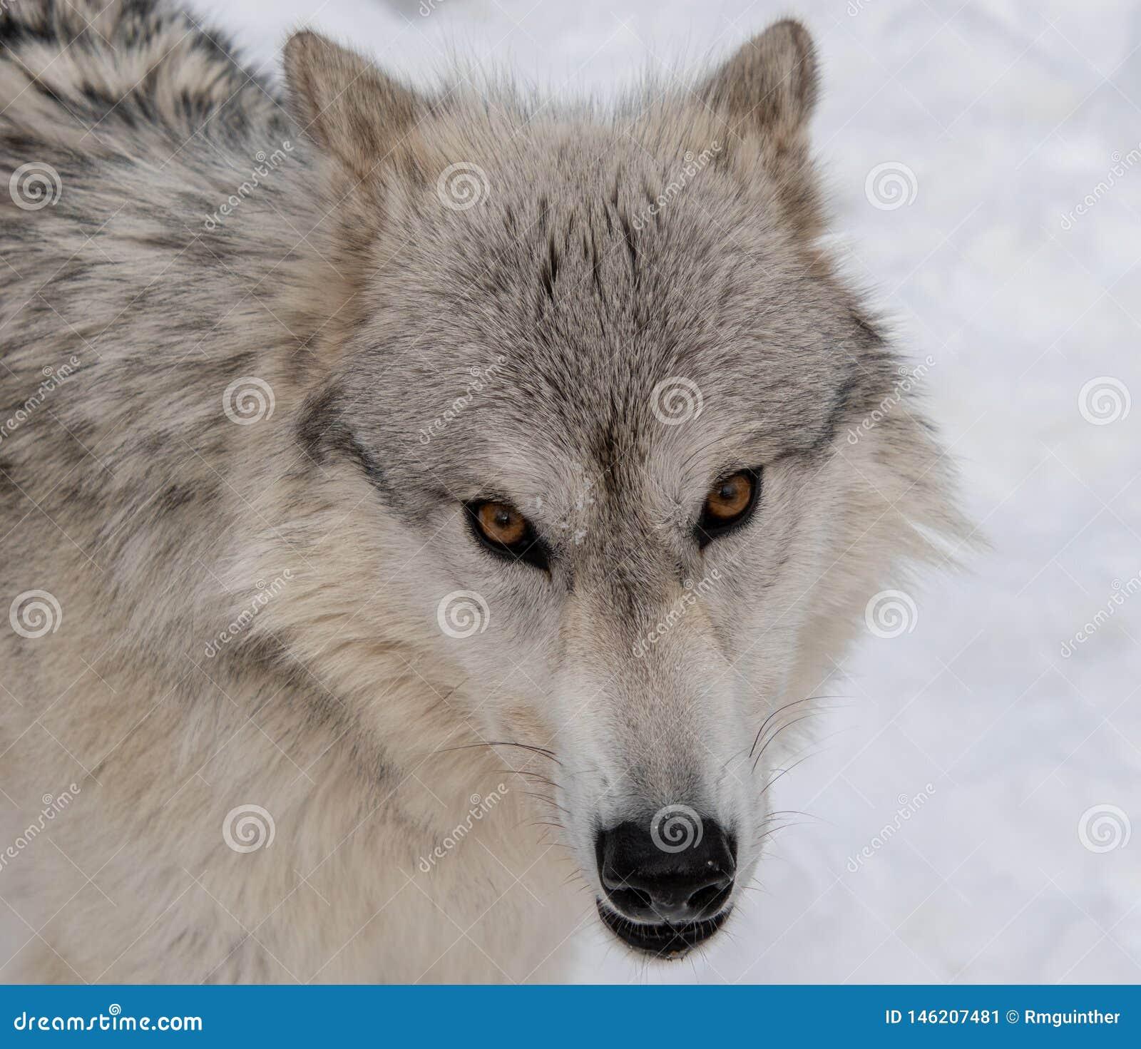 Волк тимберса вытаращить сразу в мою камеру