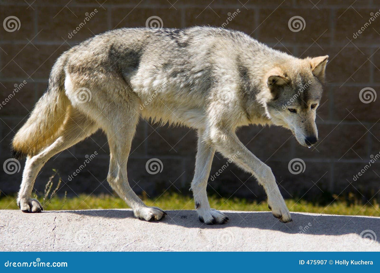 волк тимберса тела полный