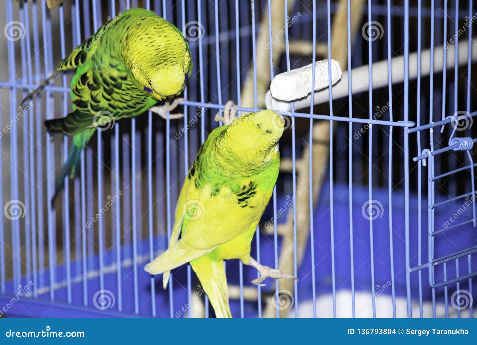 2 волнистых попугая сидят на клетке