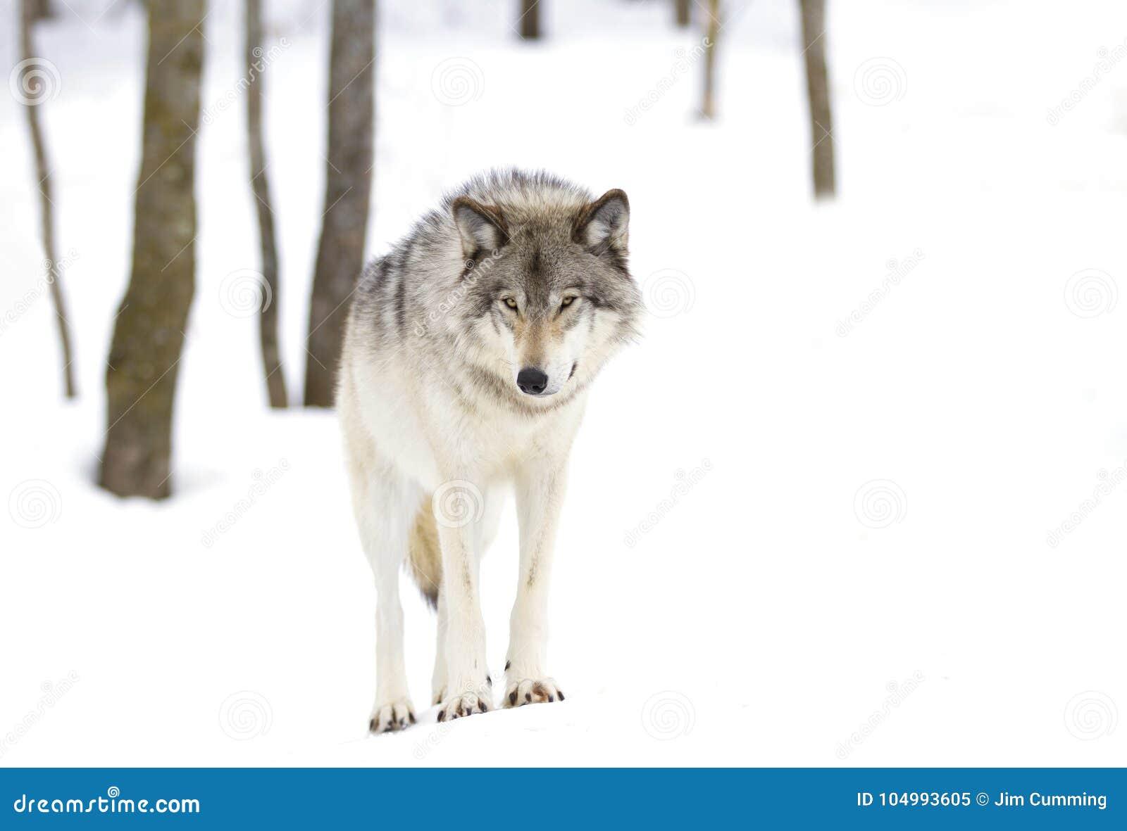 Download Волчанка волка волка тимберса стоя в снеге зимы Стоковое Изображение - изображение насчитывающей социально, меховой: 104993605
