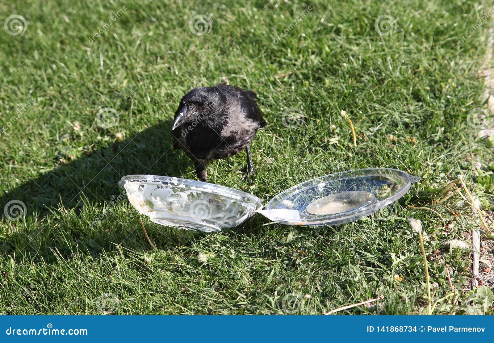 Ворона вытягивает еду из пластмасового контейнера