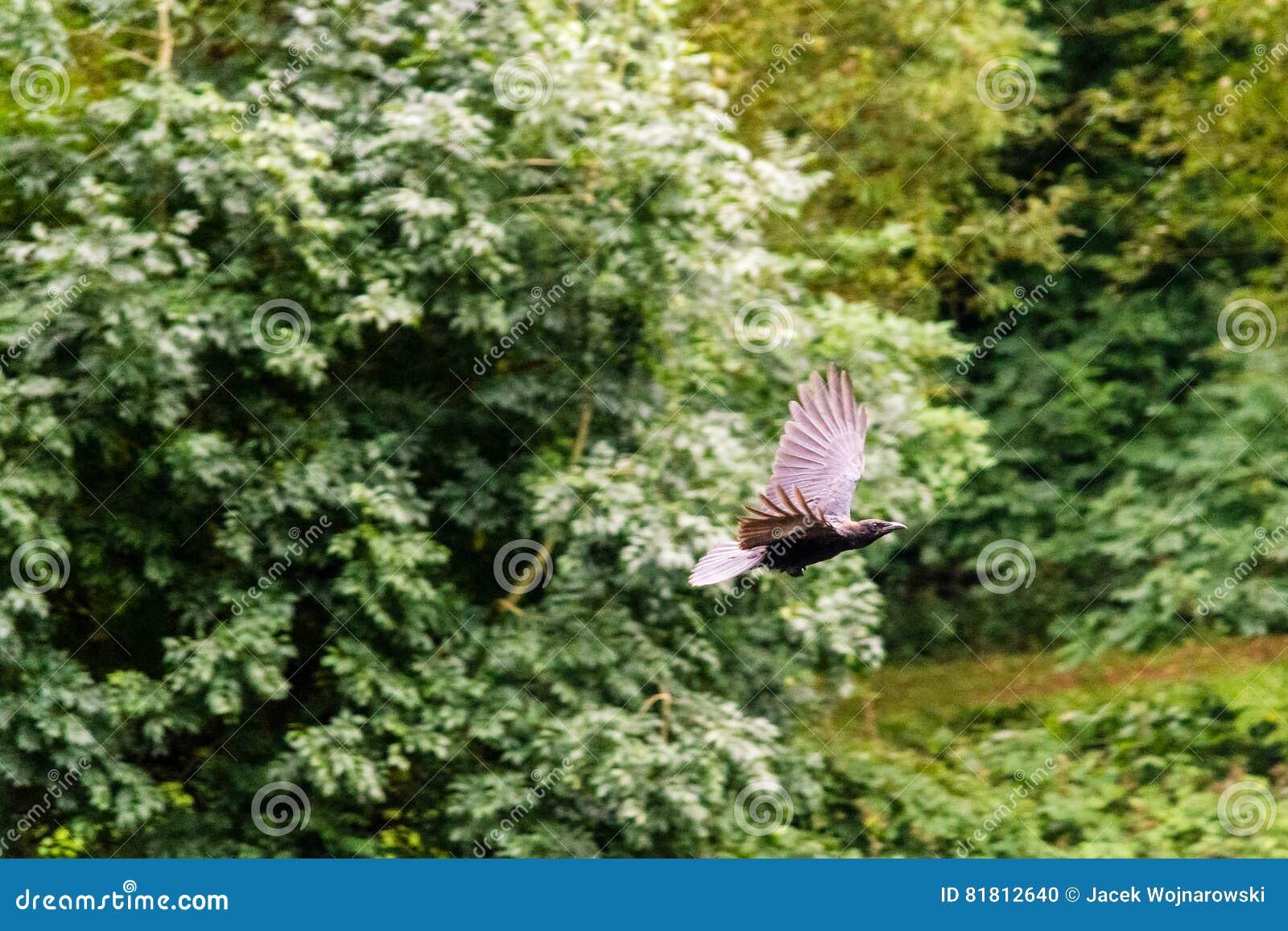 Ворона летания на запачканной предпосылке a
